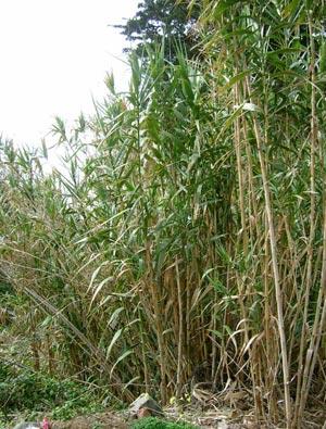 Rễ sậy vị thuốc chữa bệnh viêm phế quản