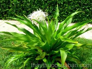 Náng hoa trắng chữa u xơ tiền liệt tuyến