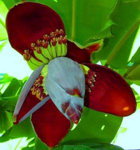 Hoa chuối chữa bệnh hiệu quả
