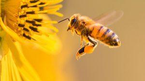 Dùng vôi chị ong đốt