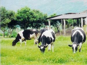 Bò sữa sản xuất chất kháng HIV