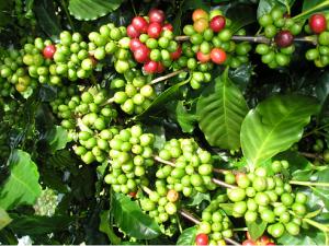 Hạt cà phê xanh giúp giảm cân
