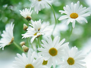 Hoa cúc trắng chữa hoa mắt chóng mặt